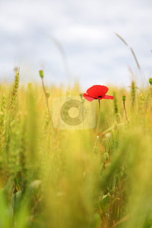 Poppy in the wheatfield stock photo, Poppy in a wheatfield, swallow depth of field by Tilo