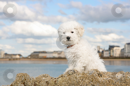 Puppy on the rocks stock photo, A cute bichon frise puppy at the sea by Tilo