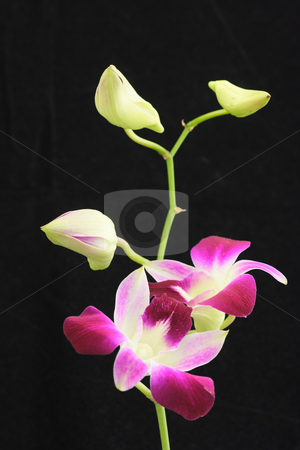 Orchid black stock photo, Orchid with two open flowers and three buds isolated over black by Natalia Macheda