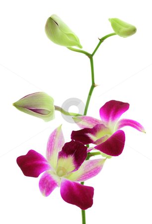 Orchid white stock photo, Orchid with two open flowers and three buds isolated over white by Natalia Macheda