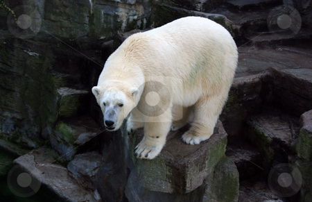 White polar bear stock photo, White polar bear on a rock ready to dive into pond by Natalia Macheda