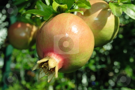 Pomegranate fruit stock photo, Closeup of a pomegranate fruit on a tree during the period of upcoming harvest by Natalia Macheda