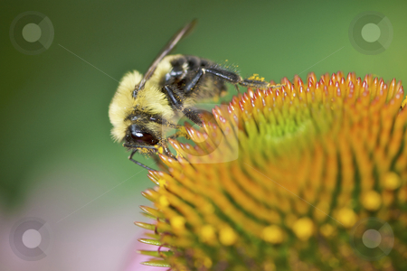 The Pollinator stock photo, Pollen covered bee on coneflower by Jarrod Erbe
