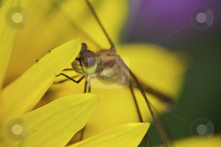 Dragonfly on sunflower stock photo, Macro view of dragonfly on sunflower by Jarrod Erbe