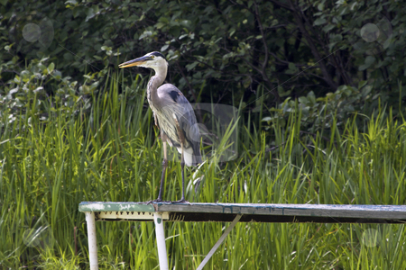 Great Blue Heron stock photo, Great Blue Heron by Jarrod Erbe