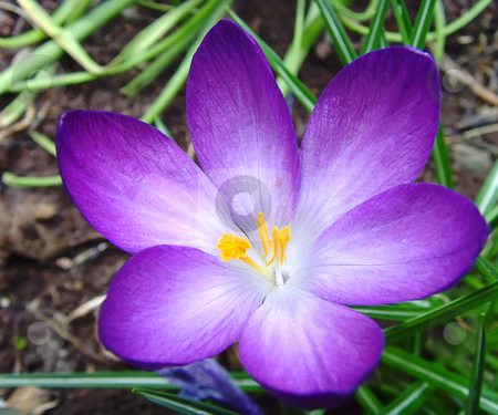 Crocus stock photo, A close up of a crocus in spring by Ivan Paunovic