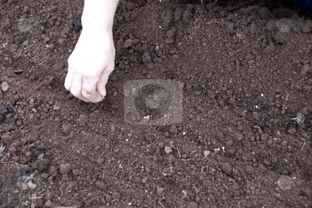 Seeding stock photo, Seeding vegetables manually on a prepared soil by Ivan Paunovic