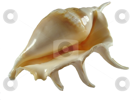 Empty shell stock photo, An empty shell of a sea snail over white by Ivan Paunovic