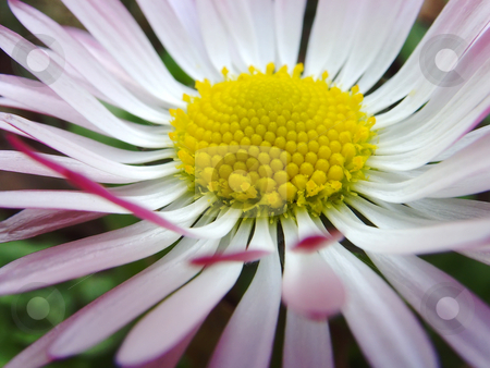 Daisy stock photo, A close up of a daisy flower widely open by Ivan Paunovic