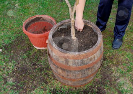 Transplanting a tree stock photo, A woman is transplanting a tree to a bigger pot by Ivan Paunovic