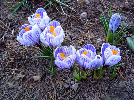 Crocus stock photo, Few crocus flowers on the ground by Ivan Paunovic