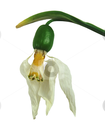 Dead snowdrop stock photo, An isolated dead snowdrop over white by Ivan Paunovic