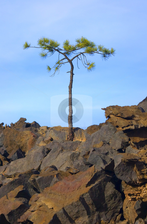 Will to Live stock photo, A lone pine struggles to find live in the middle of the Bonito Lava Flow. by Mike Dawson