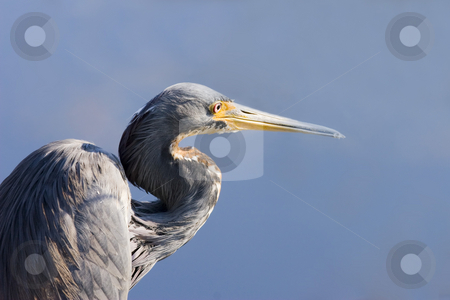 Blue Heron Blues stock photo, A great Blue Heron against the still blue water of a Florida Canal by Mike Dawson