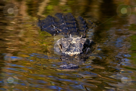 Dark Water Predator stock photo, A large Alligator lies in wait in the dark waters of a Florida Canal. by Mike Dawson