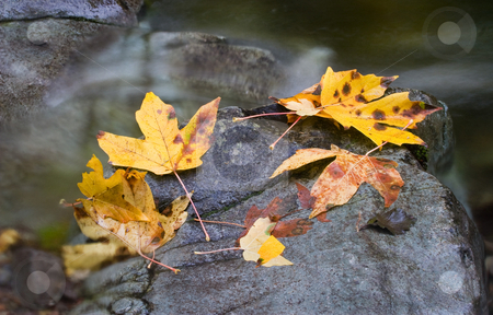 Left by the Seasons stock photo, Autumn leave left by the wind and changing seasons on a rock amidst the rushing water of a mountain stream. by Mike Dawson