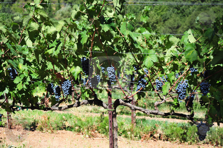 Wine Grapes On The Vine stock photo, Purpel wine grapes, ripe and ready to pick and take to the winery. by Lynn Bendickson