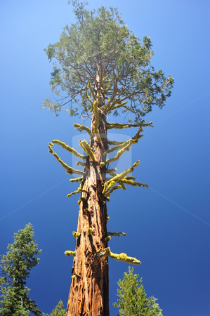 Giant Lone Cedar Tree stock photo, A very tall Cedar tree with Chartruese Lichen growing on it stands above all other trees in the forest by Lynn Bendickson
