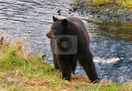 Mama Bear stock photo, A black bear mother looking back at her twin cubs as they all head to the stream to fish for spawning salmon by Mike Dawson