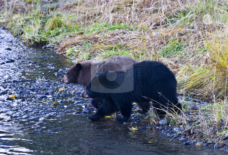 Double Trouble stock photo, A couple of young black bear cubs trying to keep up with mom as they cross the creek she is looking for salmon in. by Mike Dawson