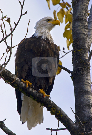 Majestic Profile stock photo, This bald eagle buzzed over my head not more than 8 feet above before landing in this tree and giving me the regal profile. by Mike Dawson