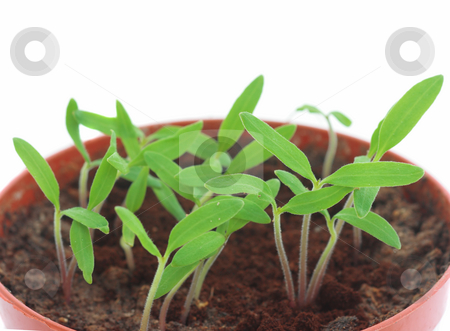 Sprouts stock photo, Close-up of tomato sprouts in pot isolated over white by Natalia Macheda