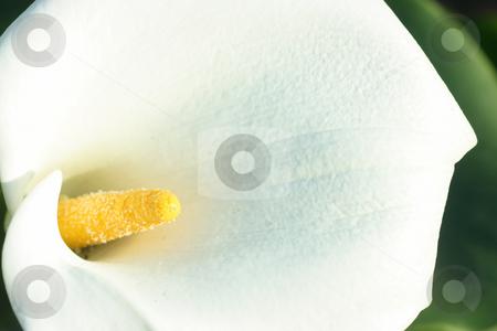 White calla close-up stock photo, Extreme close of white calla. Focus on yellow pistil by Natalia Macheda