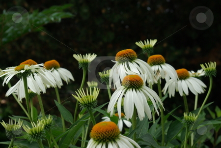 White coneflowers stock photo, Cornflowers (Echinacea) come in a variety of colors and like the white flower pictured are native to North America - growing generally in dry areas like grasslands and stony out-croppings. by Dennis Thomsen