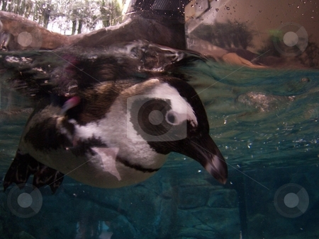 Penguin stock photo, A good close picture of a penguin swimming. Thanks by David Robinson
