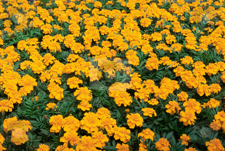MPIXIS250711 stock photo, Aurora marigold flowers by Mpixis World