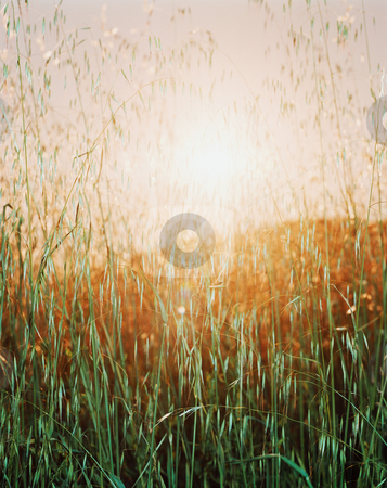 MPIXIS250748 stock photo, Sunset over field of marram grass by Mpixis World
