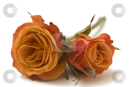 Two Orange Roses stock photo, Two orange roses isolated on a white background by A Cotton Photo