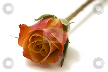Single Orange Rose stock photo, A single orange rose isolated on a white background by A Cotton Photo