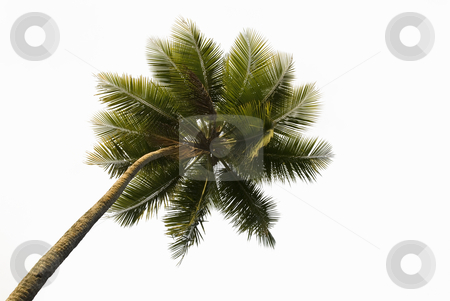 Tropical Palm Tree Isolated stock photo, Upward view of a lone tropical palm tree isolated on white by A Cotton Photo