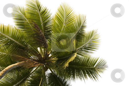 Palm Tree Close-up Isolated stock photo, Close up upward view of a lone palm tree isolated on white by A Cotton Photo