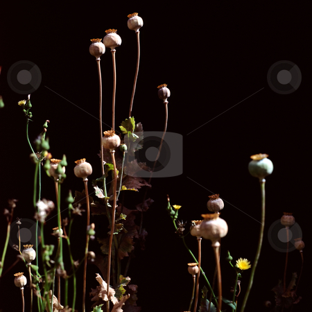 MPIXIS250294 stock photo, Poppy seed heads and stems by Mpixis World