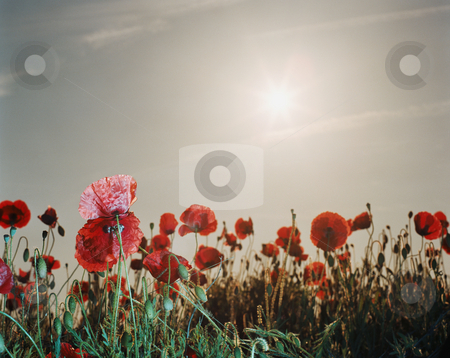 MPIXIS250754 stock photo, Poppy field by Mpixis World