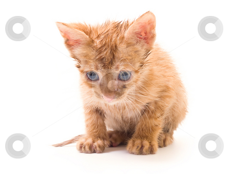 Kitten stock photo, Tomcat isolated on white background cat pussy expressions emotions by Adrian Costea