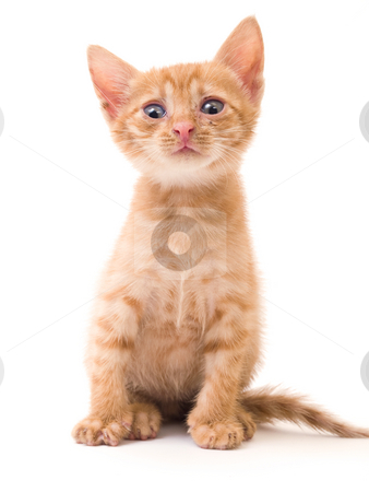 Isolated kitten stock photo, Tomcat isolated on white background cat pussy expressions emotions by Adrian Costea