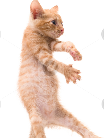 Dancing kitten stock photo, Tomcat isolated on white background cat pussy expressions emotions by Adrian Costea