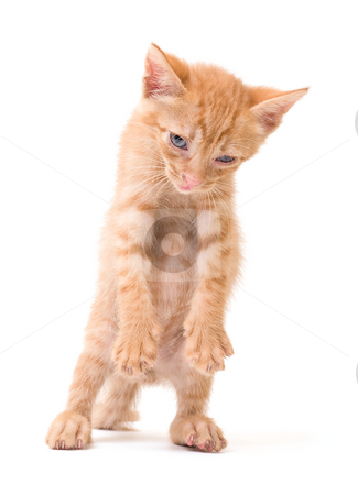 Sleepy kitten stock photo, Tomcat isolated on white background cat pussy expressions emotions by Adrian Costea
