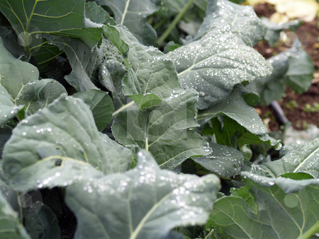 Kale leaves in garden with water drops stock photo, Row of kale plants with water drops on leaves by Jeff Cleveland