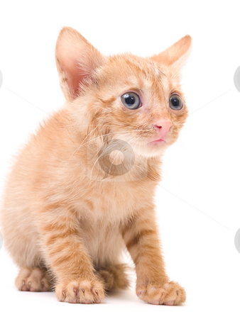 Afraid kitten stock photo, Tomcat isolated on white background cat pussy expressions emotions by Adrian Costea