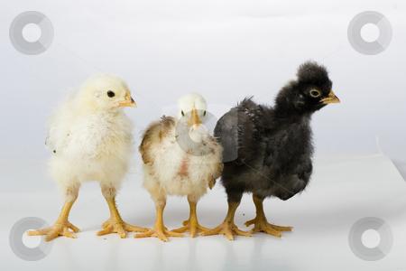 Chiken stock photo, Chiken by Fesus Robert
