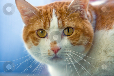 Cat face stock photo, Beautiful cat's face, staring straight forward by Paul Hakimata