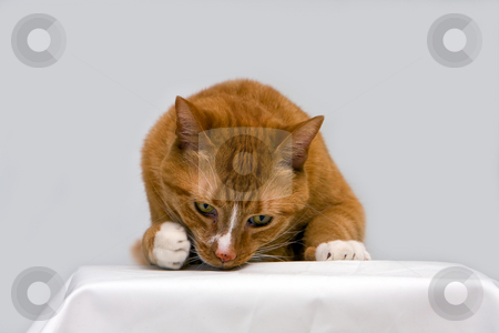 Curious cat stock photo, An orange cat curious to see what is underneath his paw, isolated on white by Paul Hakimata