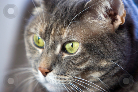 Cat's green eye stock photo, Cat's green eyes by Paul Hakimata
