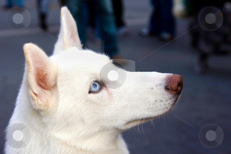 Blue eyed white Husky  stock photo, A white Husky's head shot from the side, showing his blue eye. by Paul Hakimata
