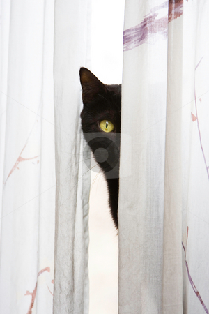 Peeking cat stock photo, Black cat with bright green eyes peeks with one eye, around a white curtain by Paul Hakimata