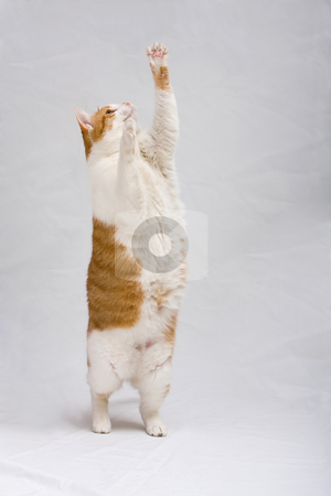 Standing cat stock photo, White with orange cat standing and trying to grab something, isolated on white by Paul Hakimata